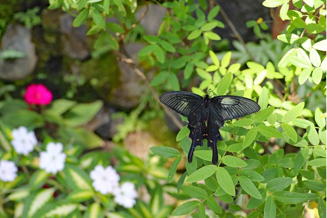 伊丹市昆虫館・温室内のチョウ