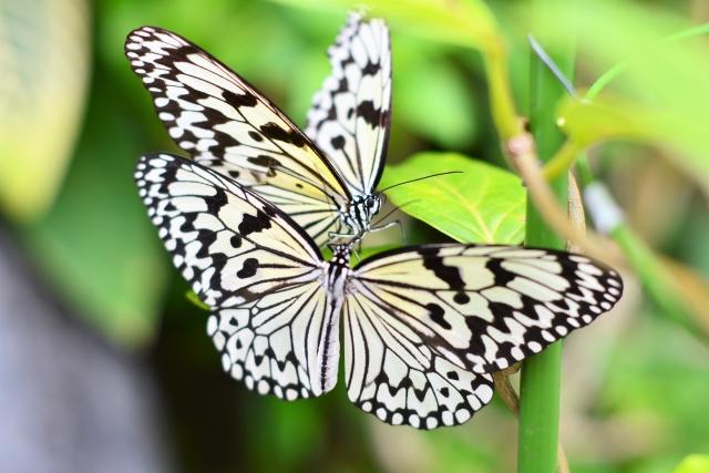 伊丹市昆虫館のチョウ