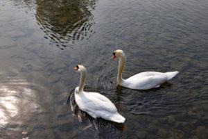 昆陽池公園・野鳥観察橋のハクチョウ