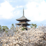 仁和寺・御室桜と五重塔