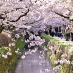 哲学の道・満開の桜