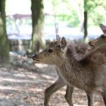 奈良公園|芝生広がる園内で鹿とのふれあいを楽しむ(奈良名所巡り)