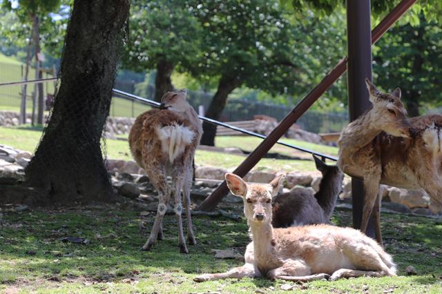 入山ゲート前の鹿
