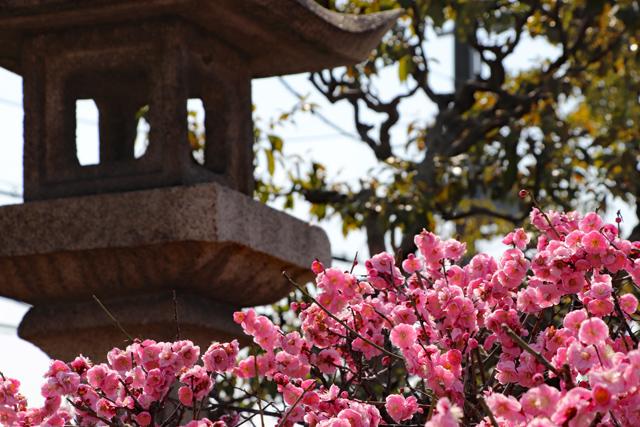 道明寺の梅