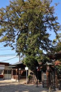長野神社・カヤの古木