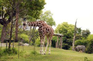 アフリカサバンナ・草食動物