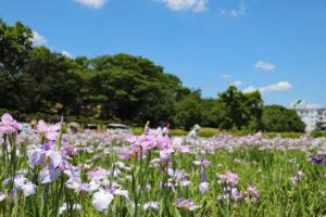 津堂城山古墳・墳丘と花しょうぶ