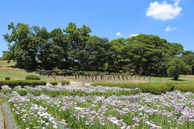 津堂城山古墳・墳丘と花しょうぶ園