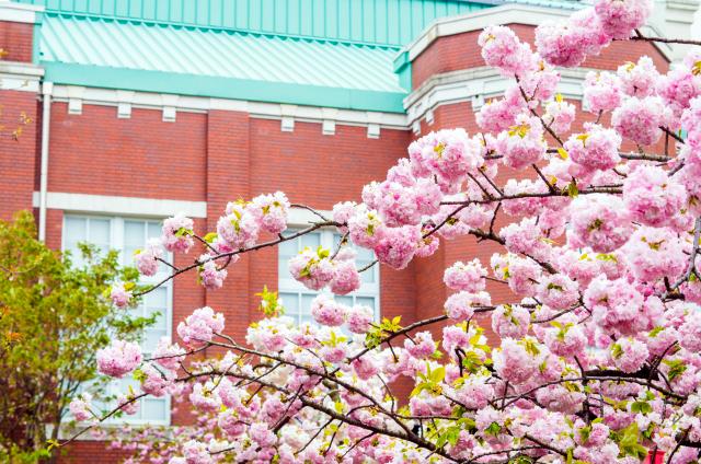 造幣博物館と桜