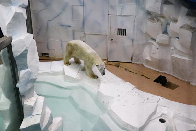 アドベンチャーワールド・海獣館のホッキョクグマ